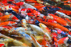 Blurry of fancy carp fish. Background texture Stock Images