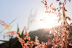 Blurry of flower grass silhouette soft focus Royalty Free Stock Photos