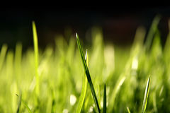 Blurry grass blades. Grass blades, 100% black on top Royalty Free Stock Images