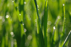 Blurry green grass with water droplet . Royalty Free Stock Images