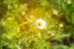 Blurry light white daisies in top view of meadow with light rays Stock Images