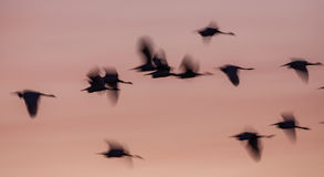Blurry Little Egret Silhouettes At Sunrise Stock Images