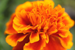 Blurry orange marigold abstract Stock Image