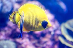 Blurry photo of a Bluecheek butterflyfish Chaetodon semilarvatus in a sea aquarium. Blurry photo of a Bluecheek butterflyfish Chaetodon semilarvatus in a clear stock image