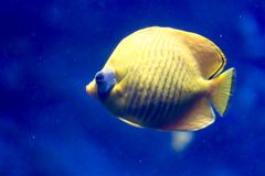 Blurry photo of a Bluecheek butterflyfish Chaetodon semilarvatus in a sea aquarium. Blurry photo of a Bluecheek butterflyfish Chaetodon semilarvatus in a clear royalty free stock photos