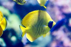Blurry photo of a Bluecheek butterflyfish Chaetodon semilarvatus in a sea aquarium. Blurry photo of a Bluecheek butterflyfish Chaetodon semilarvatus in a clear royalty free stock images