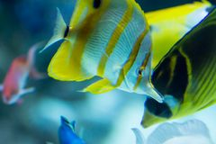 Blurry photo of a Copperband butterflyfish beaked coral fish in a sea aquarium stock image