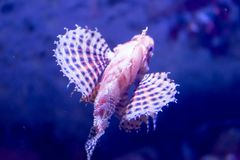Blurry photo of a Dendrochirus zebra Zebra Lionfish zebra turkeyfish in a sea aquarium stock image