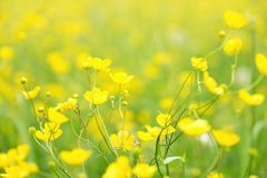 Blurry photo effect. Defocused yellow flowers and grass. Royalty Free Stock Photo