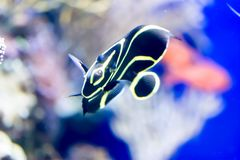 Blurry photo of French angelfish Pomacanthus paru in a sea aquarium stock images