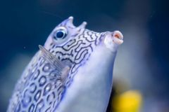 Blurry photo of Longhorn cowfish Lactoria cornuta horned boxfish in a sea aquarium stock photography