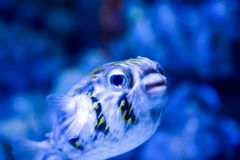 Blurry photo of a porcupine puffer fish freckled porcupinefish in a sea aquarium stock image