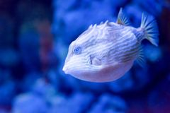 Blurry photo of a porcupine puffer fish freckled porcupinefish in a sea aquarium royalty free stock images