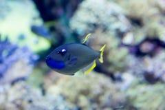 Blurry photo of a Scribbled angelfish Chaetodontoplus duboulayi in a sea aquarium