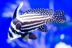 Blurry photo of a Spotted drum spotted ribbonfish in blue background in a sea aquarium stock photo