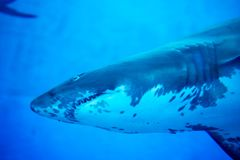 Blurry photo of a Tiger Shark in a blue aquarium. Big teeth of a Tiger Shark. In blue waters royalty free stock image