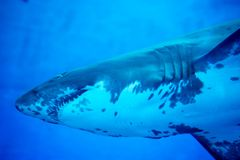 Blurry photo of a Tiger Shark in a blue aquarium. Big teeth of a Tiger Shark. In blue waters royalty free stock photography