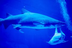 Blurry photo of a Tiger Shark in a blue aquarium. Big teeth of a Tiger Shark. In blue waters stock photography