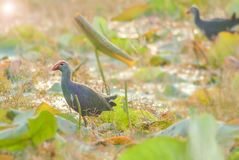 Blurry Purple Swamphen stock photography