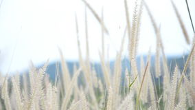 Blurry and soft focus of grass flower. In field stock footage