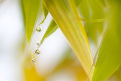 Blurry soft green brown bamboo leaves for background Royalty Free Stock Photography