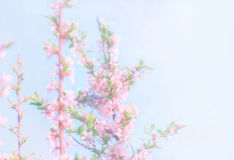 Blurry Spring Floral Background. Blooming branches of chinese cherries on a light blue background. Defocused, space for copying Royalty Free Stock Image