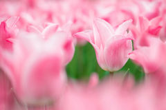 Blurry spring tulip background Royalty Free Stock Images