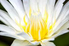 Blurry stamen of lotus Royalty Free Stock Images