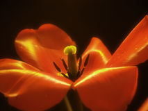 Blurry Tulip. Tulip Royalty Free Stock Image