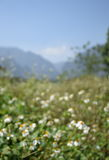 Blurry view of flower field and mountain in a sunny day Royalty Free Stock Photo