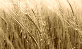 Blurry wheat in wind Royalty Free Stock Photo