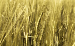 Blurry wheat in wind Royalty Free Stock Image