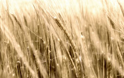 Blurry wheat in wind Stock Photos