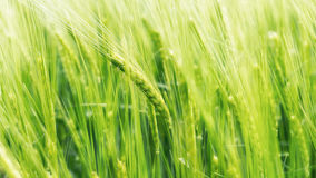 Blurry wheat in wind Royalty Free Stock Photos