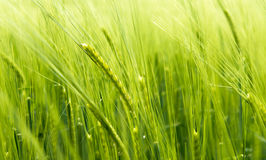 Blurry wheat in wind Royalty Free Stock Images