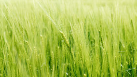 Blurry wheat in wind Stock Photography