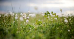 Blurry white anemones in green spring meadow Stock Photo