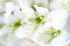 Blurry white flowers. For nature background with bokeh. The first spring flowers, defocused photo, abstract floral background, soft focus, blooming trees Royalty Free Stock Photography