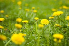 Blurry yellow dandelion Stock Photography