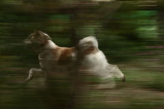 Blurs of Dog. When Running Royalty Free Stock Photography