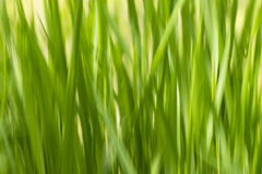 Blurs grass abstract green background ecologycal and healthy con Stock Photo