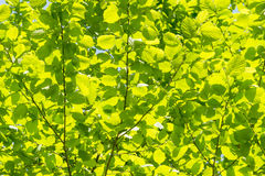 Blurs green tree leaves in spring, abstract background. Royalty Free Stock Photos
