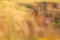 Blury野兔坐美丽的晚上太阳的草甸 库存照片