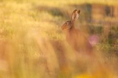 Blury-Hasen, die auf Wiese in der schönen Abendsonne sitzen stockfoto