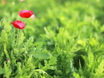 Blury red poppy with green leaf Royalty Free Stock Image