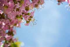 Blush colored blossoms. Details of blush colored blossoms on a tree Royalty Free Stock Photography