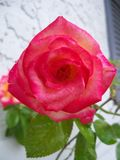 Blush färbte Dick Clark Rose stockfotos