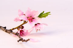 Blush Pink Blossom Stock Photo