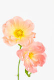 Blush pink and yellow garden roses Stock Photo