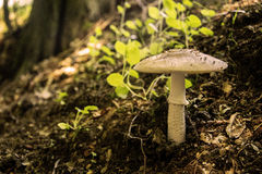 Blusher mushroom Royalty Free Stock Photo